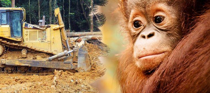 tanjung-puting-orangutans-bulldozer