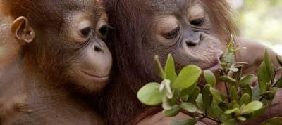 Biosprit – Tödlicher Feind der Orang-Utans