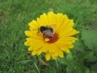 Hilfe für (Wild)bienen und andere Insekten